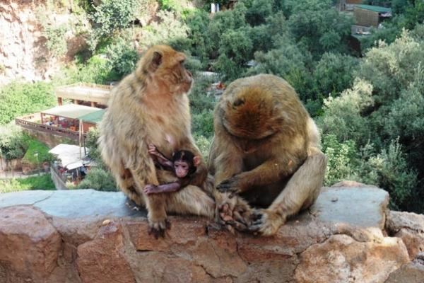 Maroc - Famille singe à Ouzoud