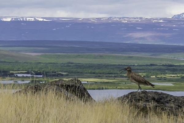 Islande & îles Féroé, Courlis à Myvatn