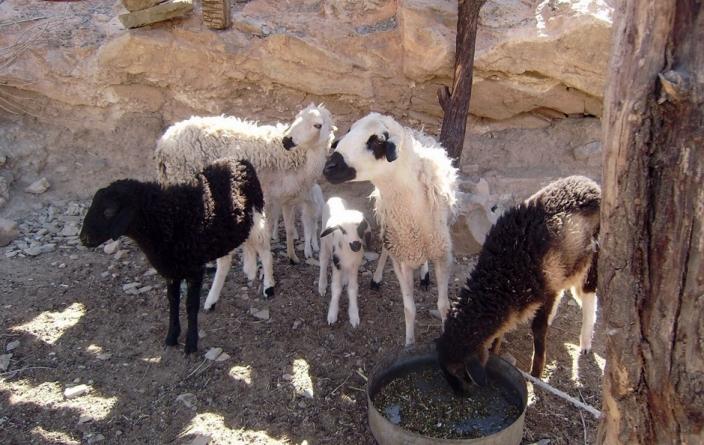 Maroc 12 jrs chèvres