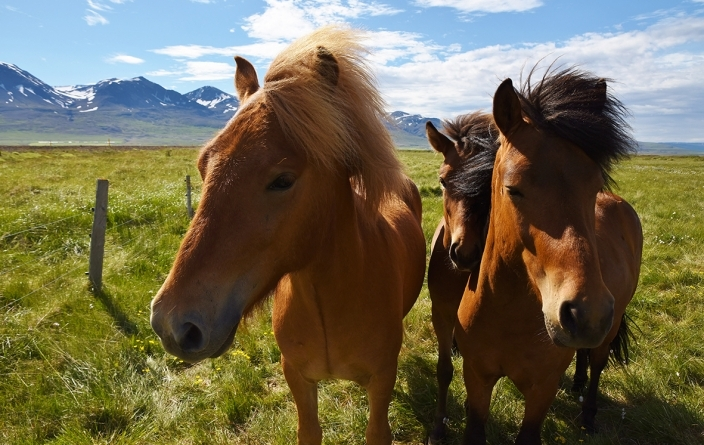 Islande - Chevaux islandais